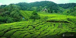 Cameron Highlands Malaysia, Tea Plantations, green