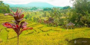 Backpacker Indonesia Travel Tips & Information, Bali Rice Fields