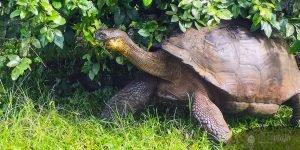 Galapagos Itinerary, tortoise