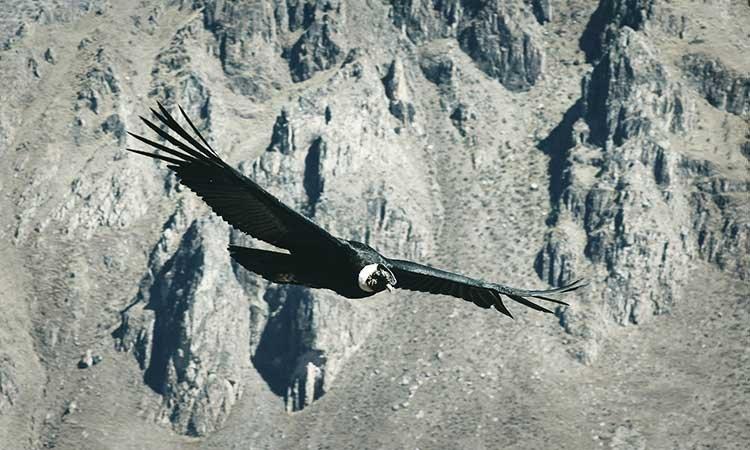 Condor at Colca Canyon, Hiking in Peru